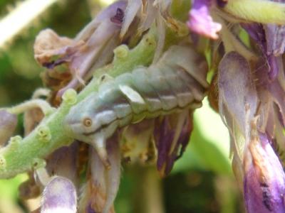 P1170873ウラギンシジミ幼虫.JPG