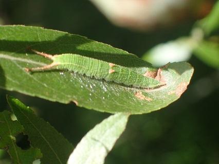 P7250369コムラサキ幼虫.JPG