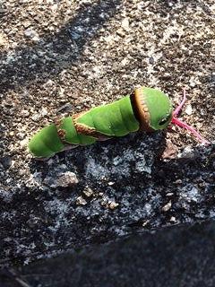 あげはちょうの幼虫